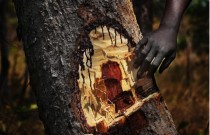 Photographer Lu Guang Reveals How China's Love of Bloodwood is Destroying African Forests