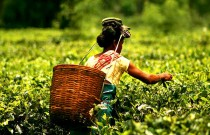 Tanzania Seeks To Increase Tea Productivity