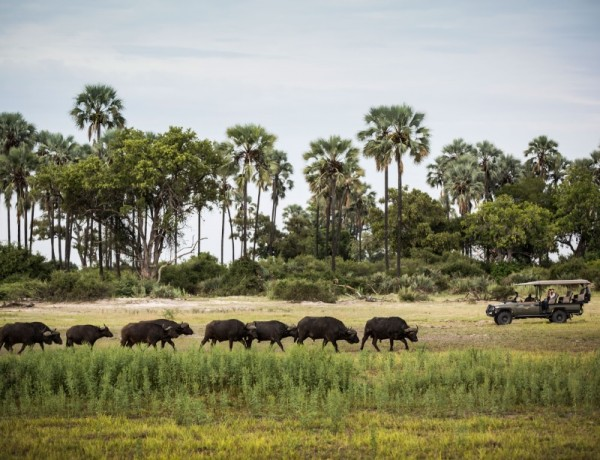 A buffalo herd commuting to a water hole in Mombo camp, Botswana.