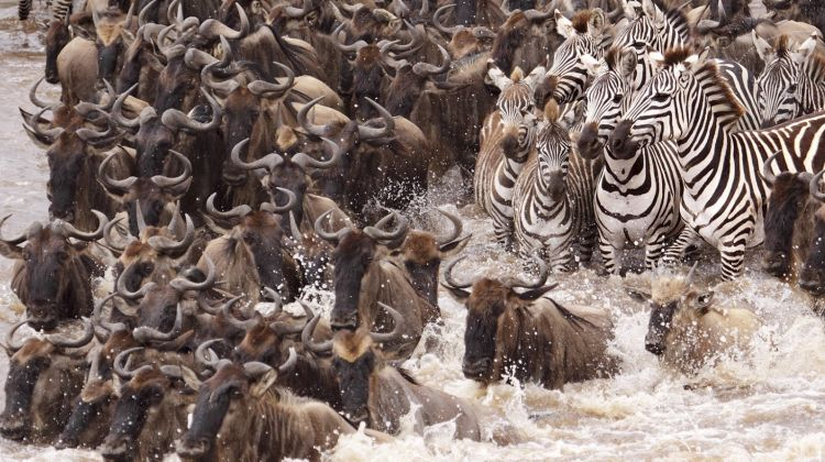 The Great wildbeest Migration at the Serengeti National Park